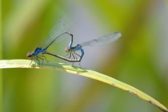 dragonflies-965933_640