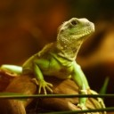 lizard-22258_640