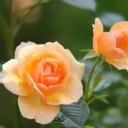 rose-616013_640