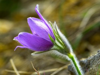 pasque-flower-323233_640