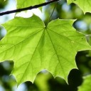 maple-leaf-888807_640
