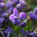 scented-violets-1077159_640