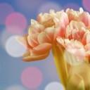 tulip-1225781_640
