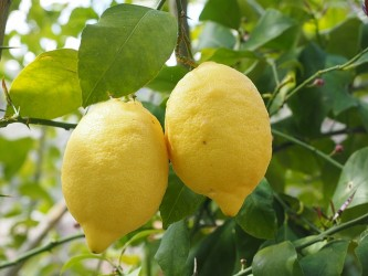 lemon-1117564_640