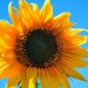 yellow-sunflower-403172_640