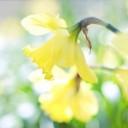 daffodil-1358942_640