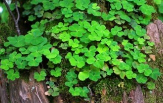 forest-clover-349975_640