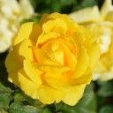 yellow-rose-196393_640