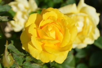 yellow-rose-196393_640