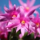 christmas-cactus-103118_640