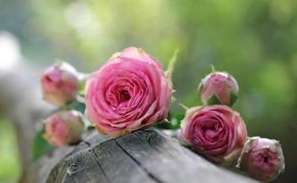 rose-1687884_640
