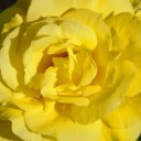 rose-8209_640