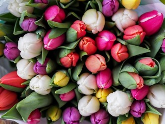 tulips-1246264_640
