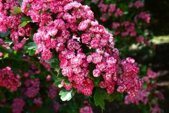 cherry-blossom-210692_640