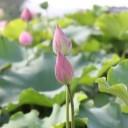 lotus-buds-809863_640