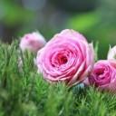 rose-1687547_640
