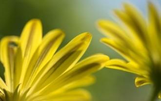 spanish-daisy-1636469_640