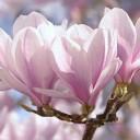 tulip-magnolia-1325396_640