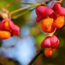 berries-1783934_640