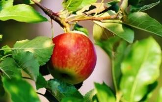 apple-1644393_640