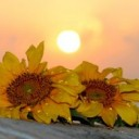 sunflower-1557101_640