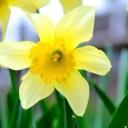 daffodil-696449_640