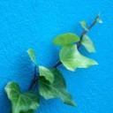 ivy-72475_640