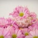 pink-daisies-2121593_640