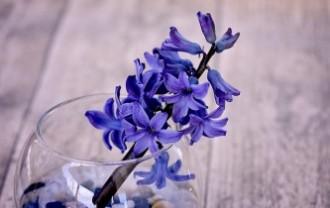 hyacinth-772059_640