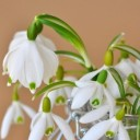 lily-of-the-valley-679767_640