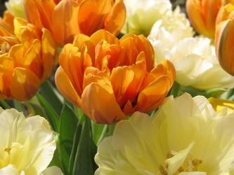 tulip-955265_640