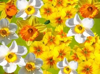 daffodils-1270735_640