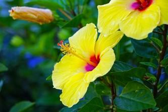 hibiscus-2313752_640