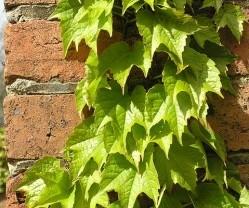 ivy-growing-1825447_640