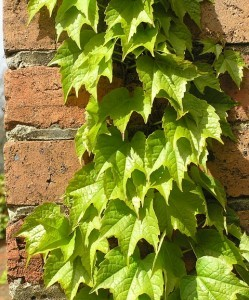 ivy-growing-1825447_640