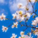 magnolia-2096959_640