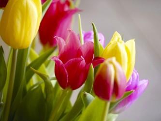 tulips-2161714_640