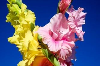 gladiolus-2670974_640