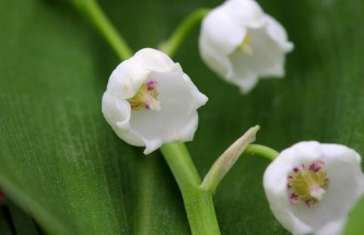 lily-of-the-valley-1415809_640