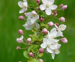 apple-blossoms-55773_640