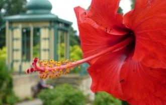 hibiscus-2553774_640