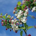 apple-blossom-173566_640