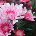 chrysanthemum-2906367_640