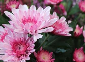 chrysanthemum-2906367_640