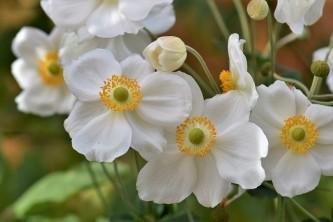 anemones-2836781_640