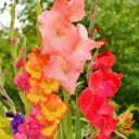 gladiolus-2538065_640