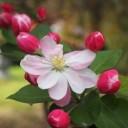 begonia-flower-1708935_640