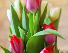 tulip-3183831_640