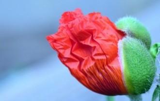 poppy-2344244_640