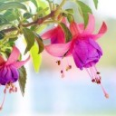 fuchsia-wind-chime-flowers-3383825_640
